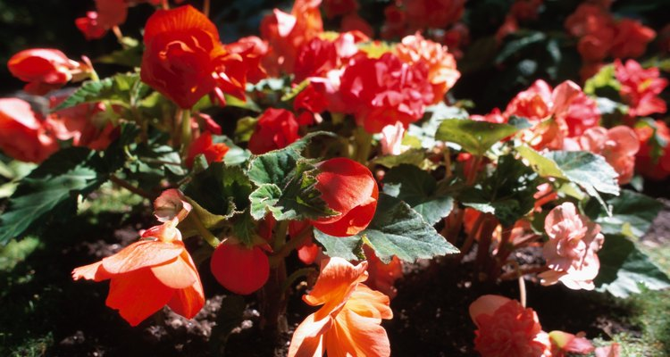 Begonias bloom with bright, waxy flowers.