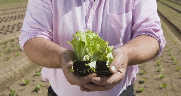 La lechuga se germina y transplanta muy fácilmente, lo que la hace ideal para interiores.