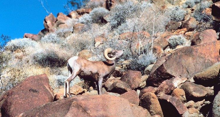 Es posible que veas un cimarrón del desierto durante una excursión cerca de Topock.