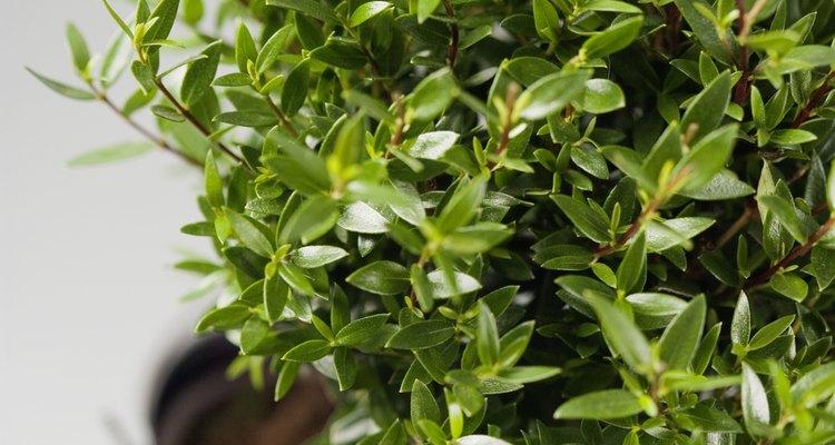 Las manchas blancas en las hojas de los arbustos no son sino un indicio de una determinada plaga o enfermedad.