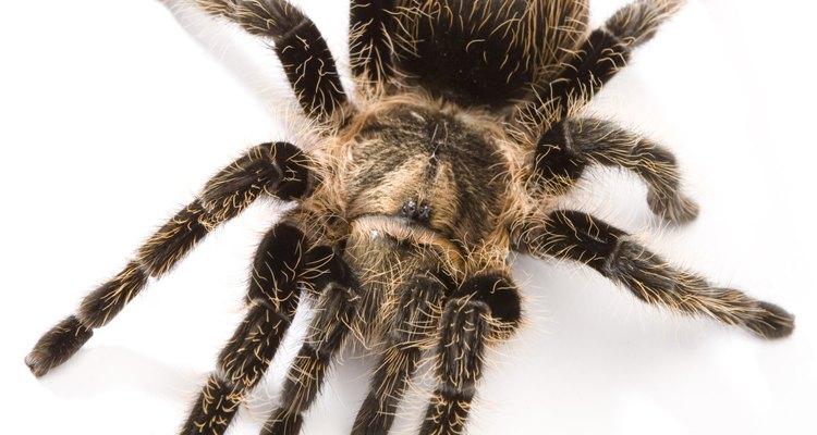 Las arañas pertenecen a la clase Arácnida.