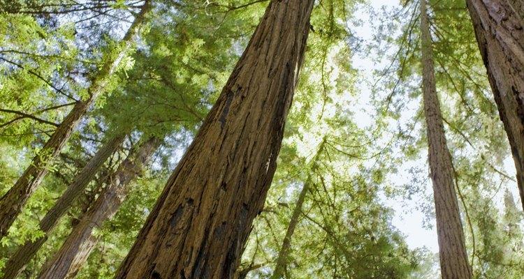 Las Secoyas son los árboles más altos del mundo.