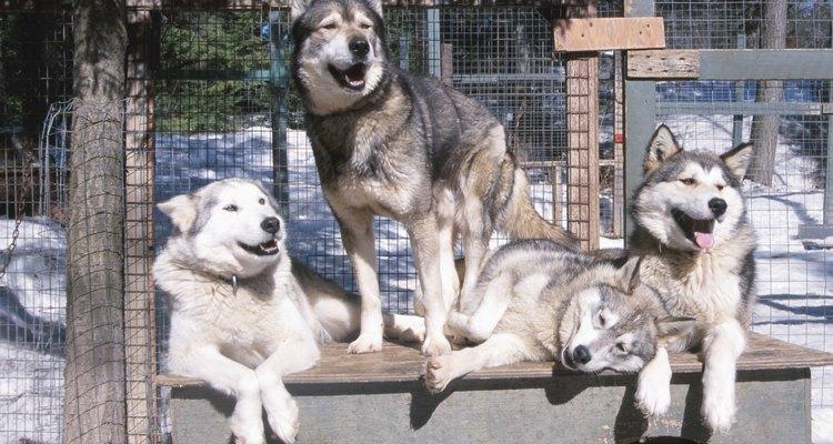 Los hiskies siberianos son perros robustos criados para la resistencia en lugar de para la fuerza bruta.