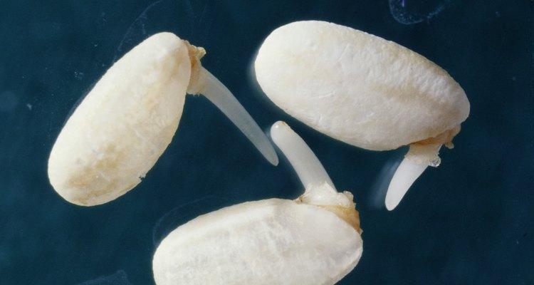 Ensine aos alunos o método científico a partir de brotos de feijão