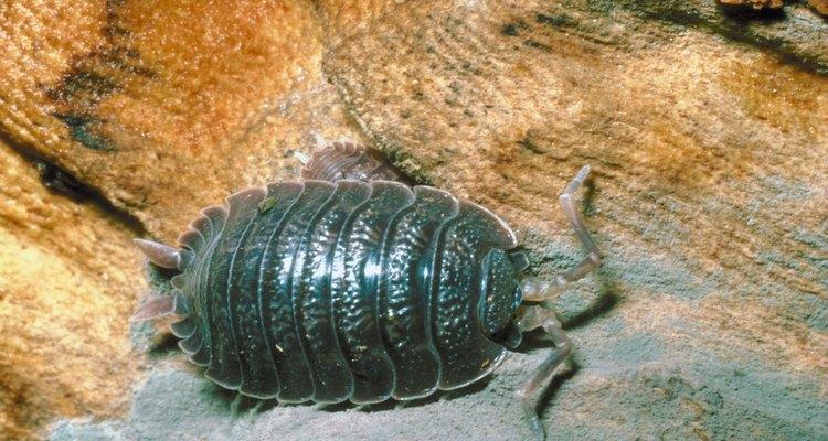 Las cochinillas tienen exteriores plateados que les dan la apariencia parecida a la del armadillo.