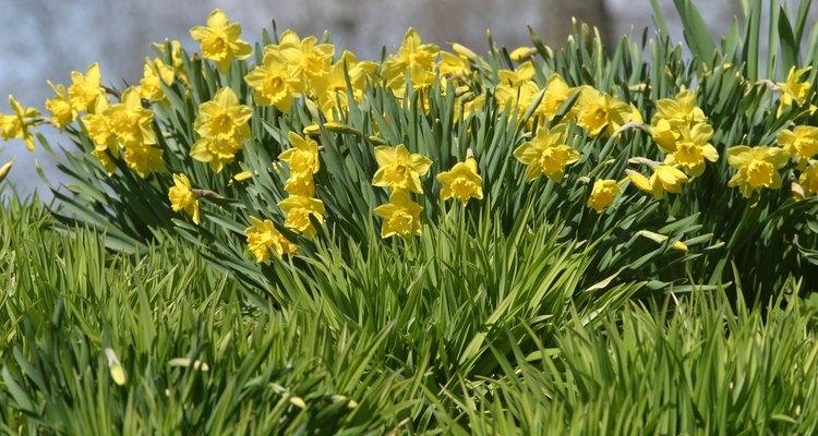 Narciso-amarelo