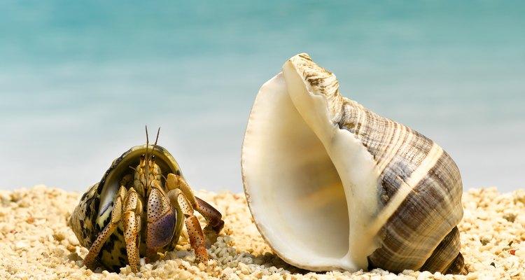 Algunas especies de cangrejos necesitan alimentos especiales o suplementos para mantenerse saludables como mascotas.
