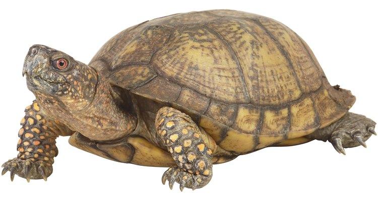 La tortuga gopher adora comer los frutos del icaco.