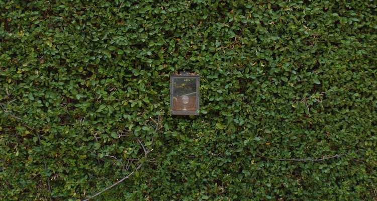 A hera funciona com um substituto para grama em áreas sem tráfego de pés