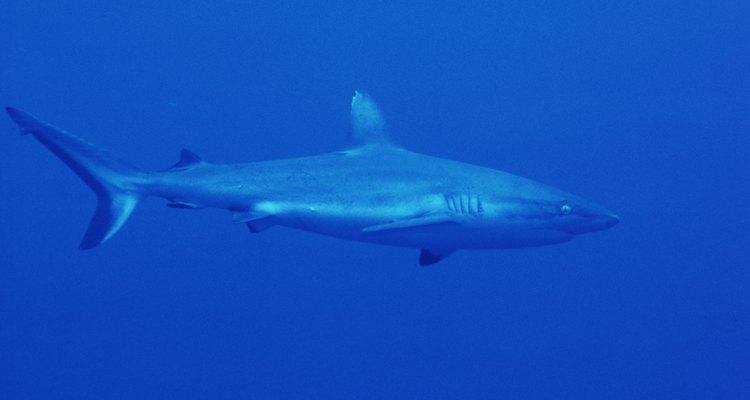 Las observaciones reportaron que los tiburones se van a aguas más profundas antes de un huracán.