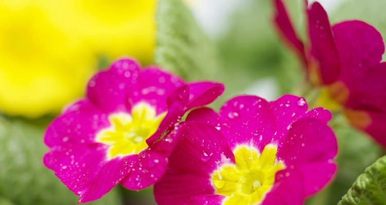 Primroses do not experience many pest problems.