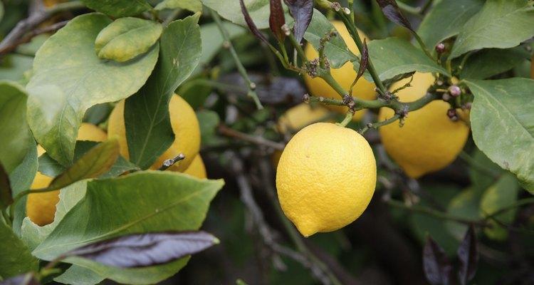 Limoeiros possuem espinhos