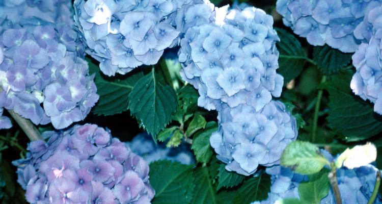 Only certain hydrangeas will change colour