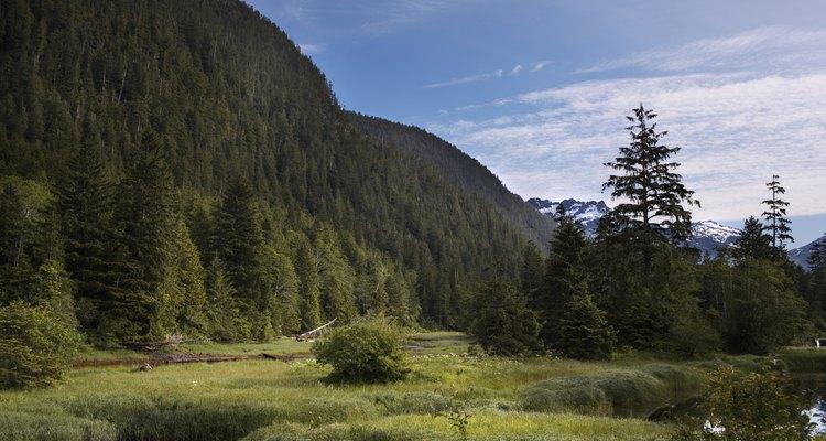 Las angiospermas y gimnospermas a menudo viven en armonía en los bosques.
