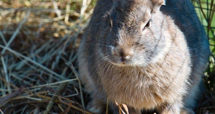O feno ajuda na digestão do coelho e também no desgaste de seus dentes