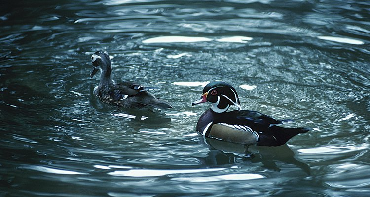Wood ducks have intricate patterns as adults.