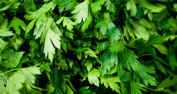 Parsley is a hardy herb that is easy to grow in a home garden.