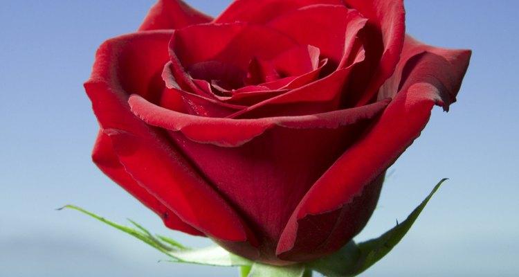 Una clásica rosa roja.