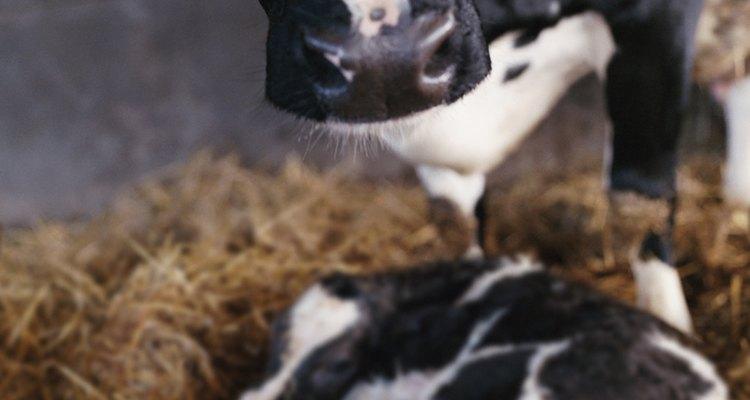 El ternero nace durante la segunda etapa del parto.
