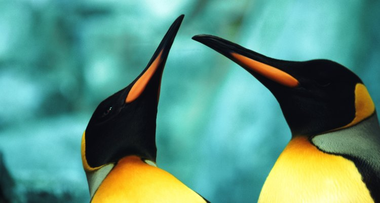 As diferenças entre os pinguins-imperador machos e fêmeas são sutis, com ambos os sexos exibindo a mesma coloração amarela no corpo