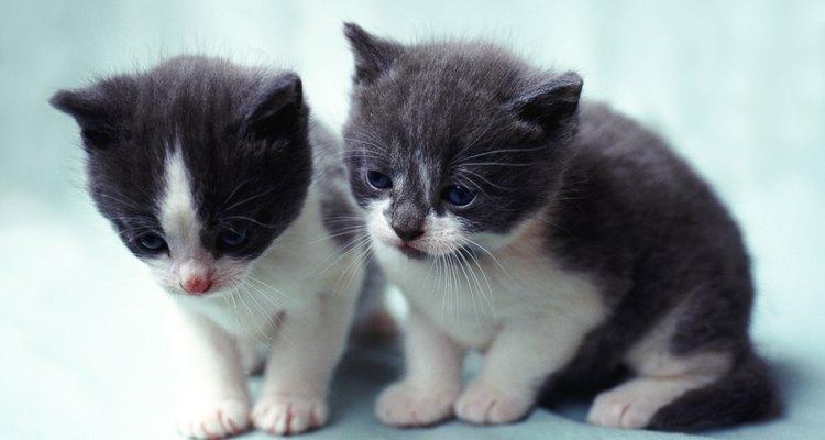 Assim como bebês humanos, os filhotes de gato devem ser alimentados em intervalos regulares