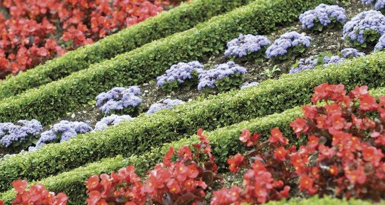 La begonia de cera roja y el ageratum plantados entre filas de boj ligramente podados.