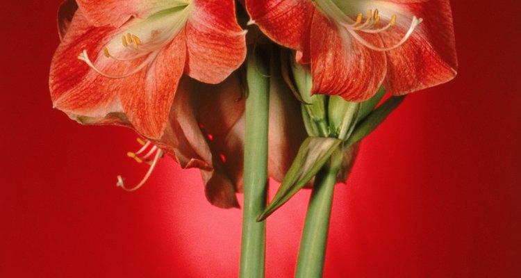 Amaryllis bulbs produce colourful flowers.