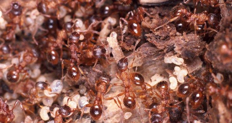 Há formas de se distinguir entre um cupim e uma formiga