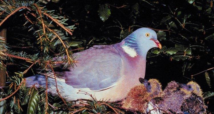 Las palomas mensajeras domésticas participan en carreras nacionales y envían mensajes.