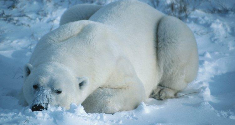 El blanco de la piel de los osos polares los ayuda a camuflarse.