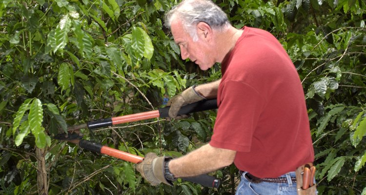 Loppers are required for stems over 1/2 inch in diameter.