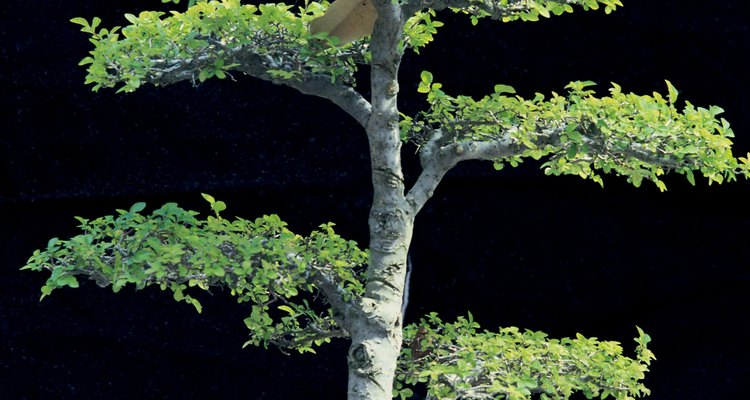 Buy locally raised bonsai plants.