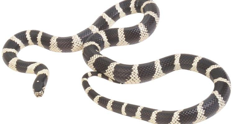 As cobras de estimação possuem um talento especial para escapar
