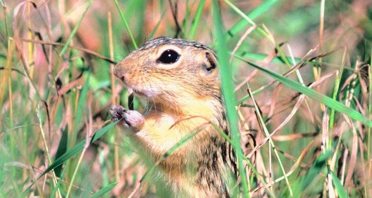 Os roedores que fazem túneis que causam danos a plantas
