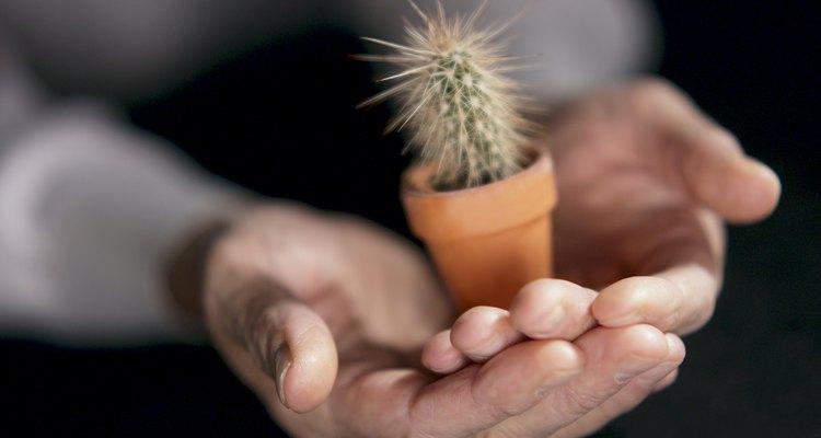 El cactus bebé necesita más nutrientes y agua que un cactus maduro.