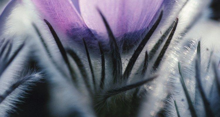 A pasque-flor, também conhecida como pulsatilla, é usada como um remédio de ervas para varicocele