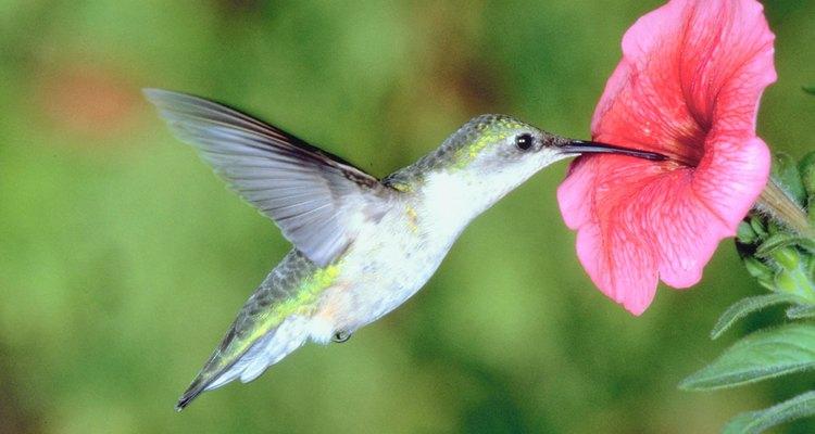 Beija-flores são atraídos para as grandes flores tubulares