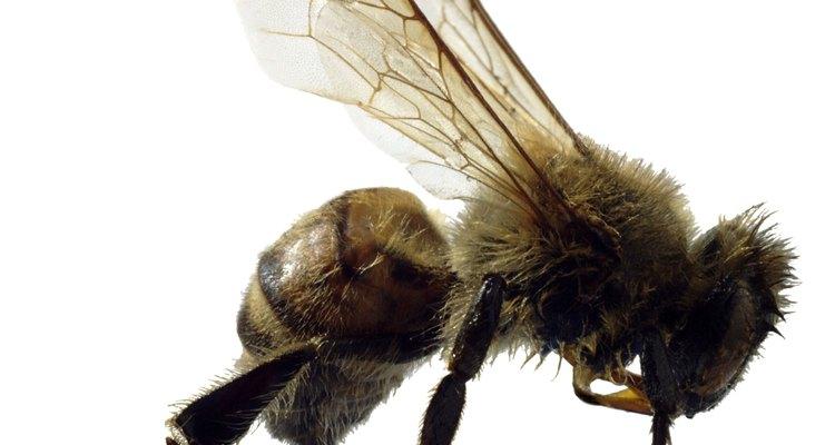 Alguns insetos imitam as abelhas para evitar confrontos com os inimigos