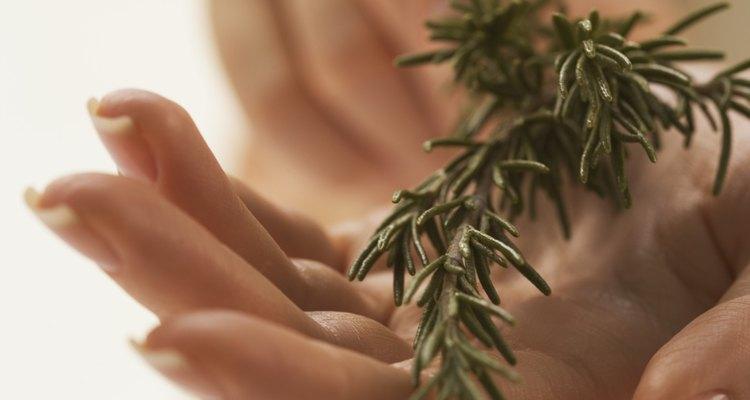 O alecrim pode ser plantado em casa