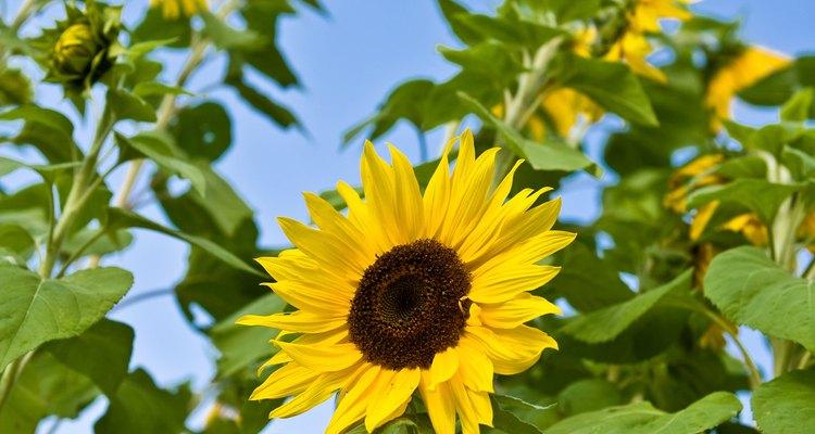 Un girasol tiende a producir una gran flor terminal.