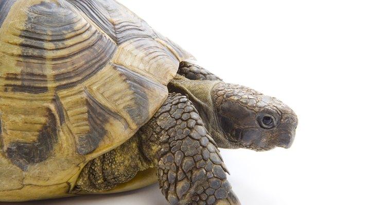 Una tortuga puede ser una muy buena mascota.