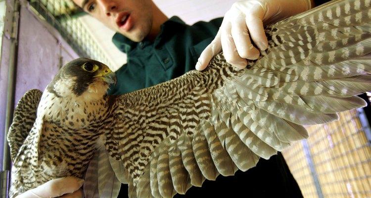 Um pássaro grande pode machucar o seu cuidador