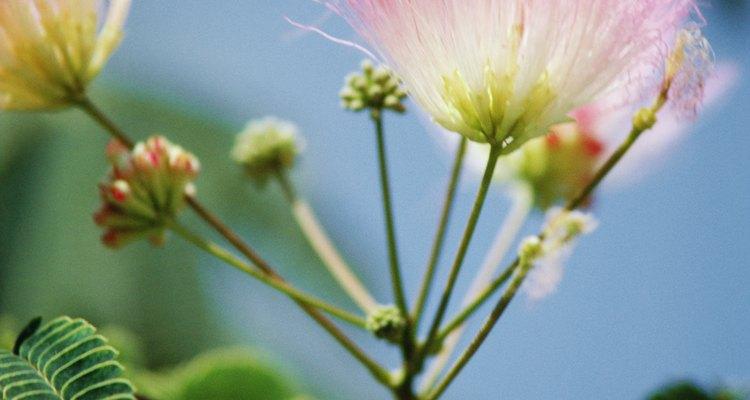 Las delicadas hojas y flores del árbol Mimosa.
