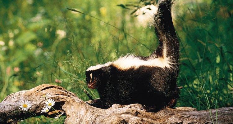 Los zorrillos y mapaches pueden transmitir rabia.