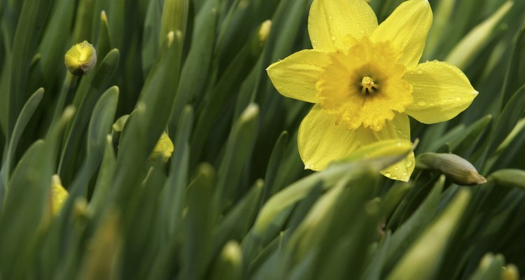 Narciso, uma das flores da ordem Asparagales