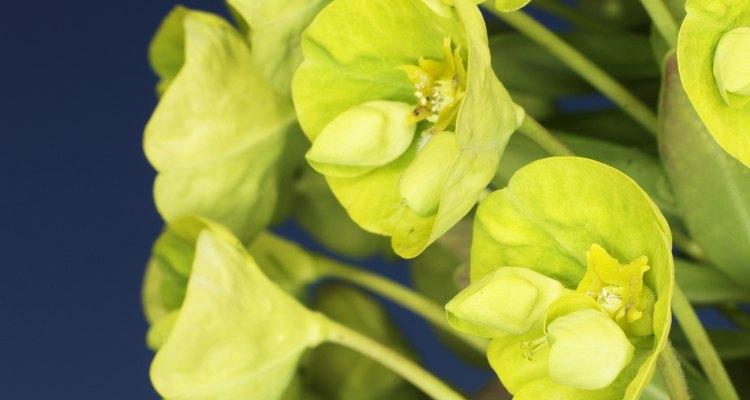 Euphorbia Esula, or leafy spurge, is a tough, hardy invasive plant.