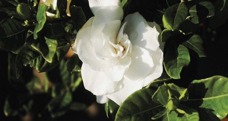 Las grandes flores blancas de gardenia son muy parecidas a las rosas.