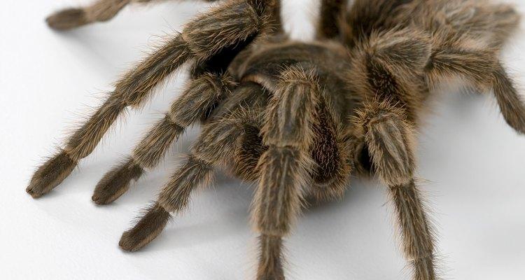 Algunas especies de tarántulas tienen bandas rojas o amarillas en sus patas pero estas especies no se encuentran en Estados Unidos.
