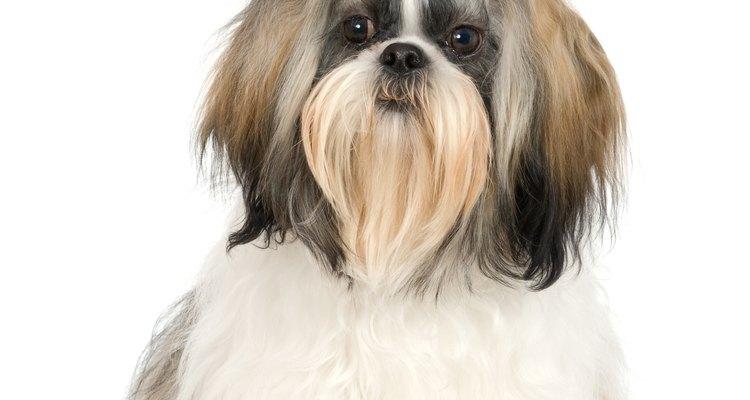 O Shiht-tzu é uma raça popular de cão pequeno, conhecida por seus característicos dentes, longos pelos e traços faciais distintos