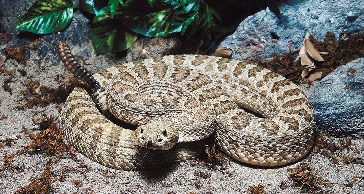 Las serpientes de cascabel pigmeas tienen tres subespecies: Carolina, oeste y oscura.